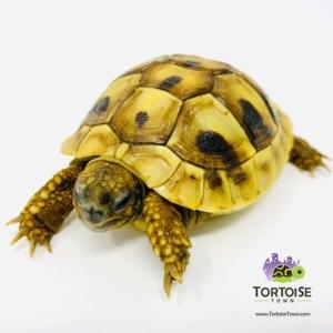 Hermann's tortoise habitat