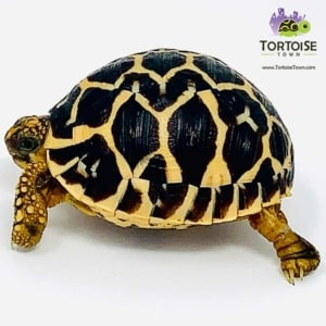 Indian star tortoise habitat