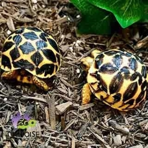 Indian star tortoise UVB light
