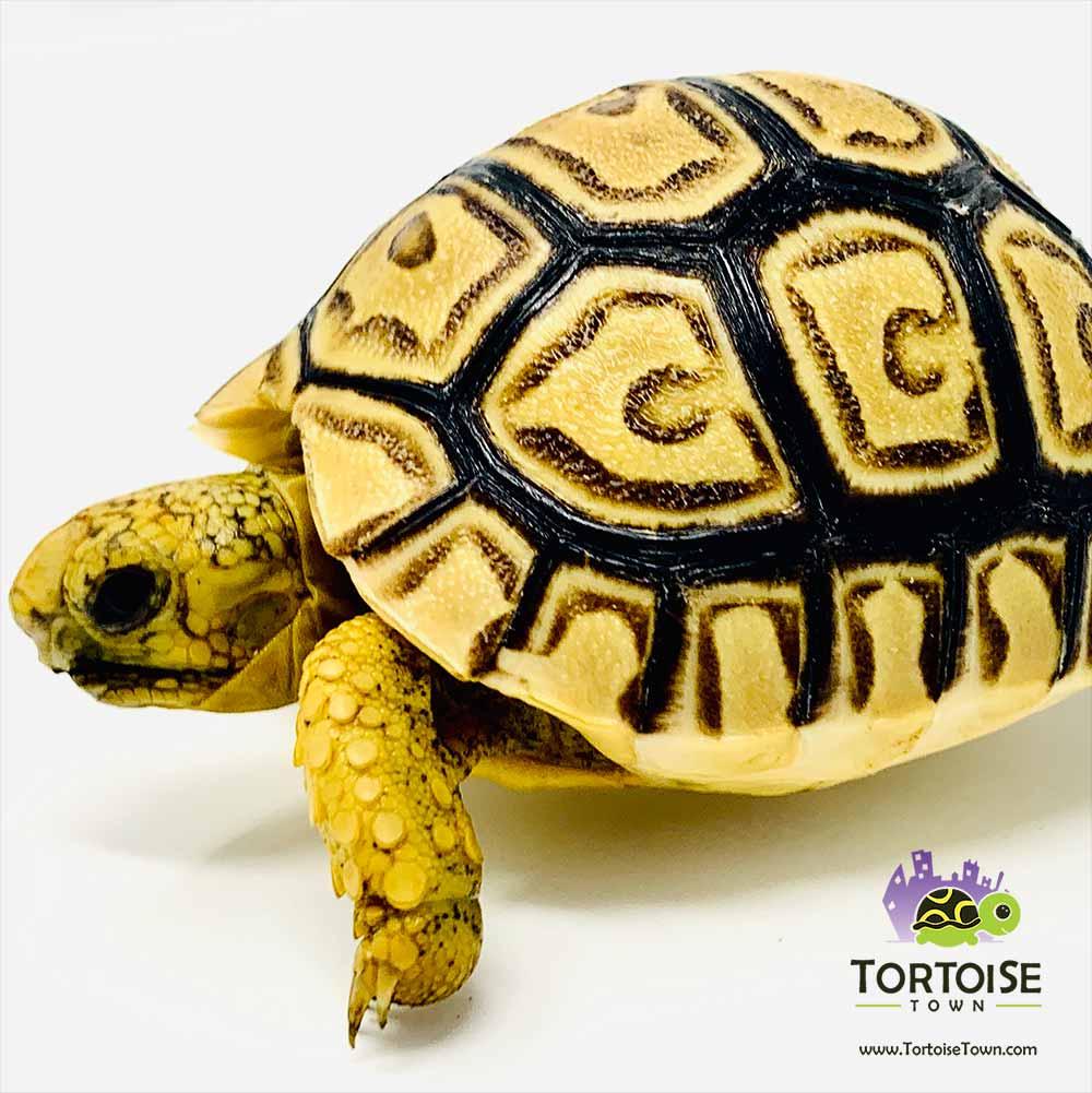leopard tortoise lighting