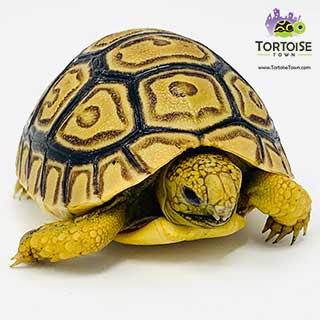 leopard tortoise water
