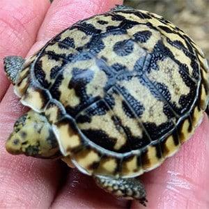 pancake tortoise habitat