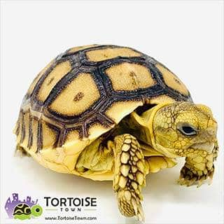 Sulcata tortoise substrate