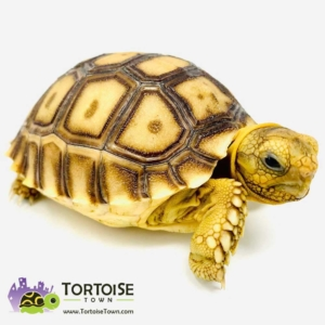 Sulcata tortoise UVB light