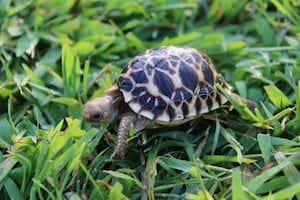 Burmese Star tortoise lighting