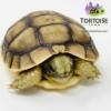 Moroccan Greek tortoise