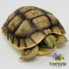 Moroccan Greek tortoise for sale