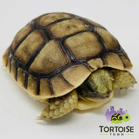 Moroccan Greek tortoise for sale