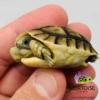 Moroccan Greek tortoise sale
