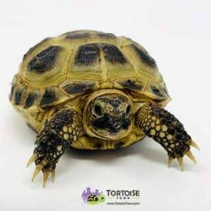 Russian tortoise humidity