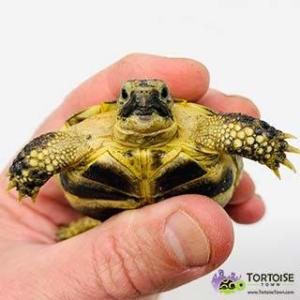 Russian tortoise size