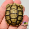 baby Greek tortoise