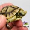 baby Greek tortoise for sale