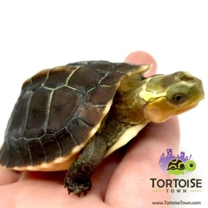box turtle light