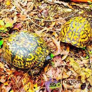 box turtle temperature