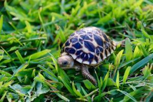 Burmese Star tortoise habitat