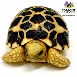 Burmese star tortoise lifespan