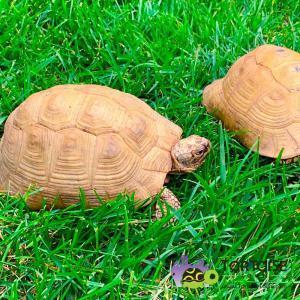 Greek tortoise diet
