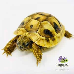 Hermann's tortoise lifespan