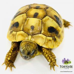 Hermann's tortoise temperature