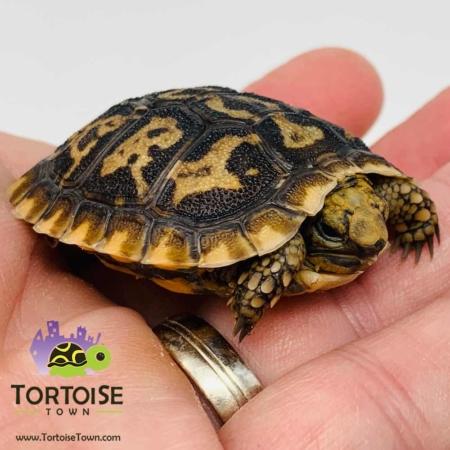 pancake tortoise for sale