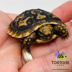Pancake tortoise hatchling