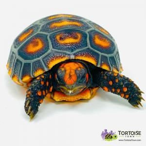 red footed tortoise temperature