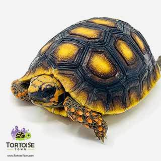 red footed tortoise water