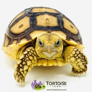Sulcata tortoise water