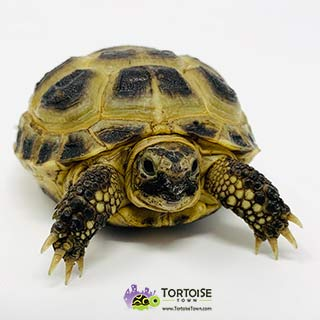 tortoise that stays small