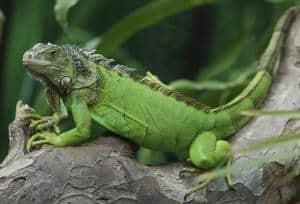 iguana size