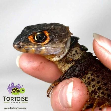 red eyed crocodile skink for sale