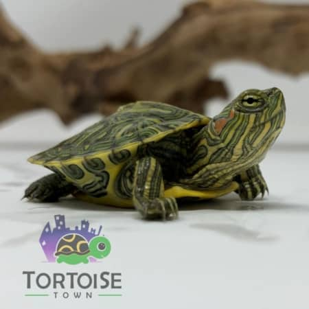 Ornate Slider Turtle