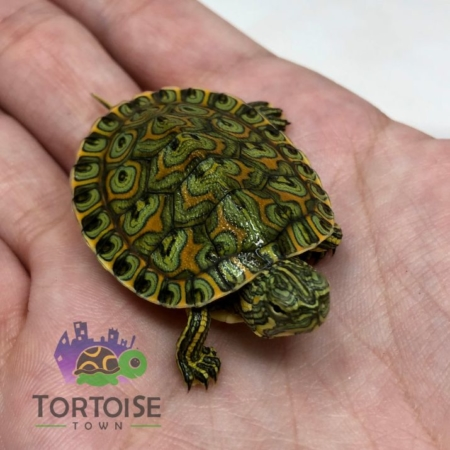 Peacock Slider Turtle