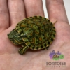 baby Peacock Slider Turtle for sale