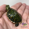 baby Red belly slider turtle