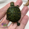 baby Red belly slider turtle for sale