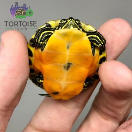 Red belly slider turtle