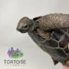 Aldabra tortoise for sale