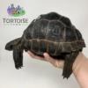 Exact Aldabra tortoise