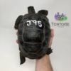 Aldabra tortoise for sale
