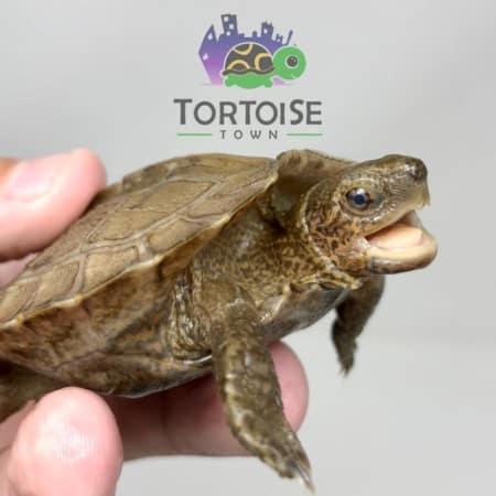 Giant Leaf Turtle