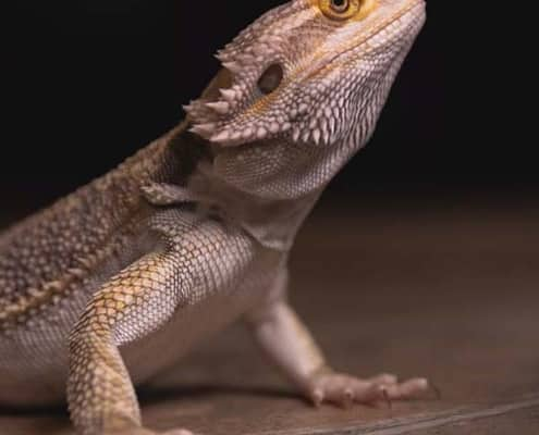 bearded dragon breeder