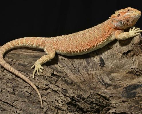 bearded dragon breeding