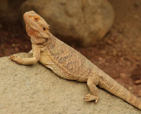 bearded dragon size