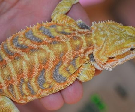 citrus bearded dragon for sale
