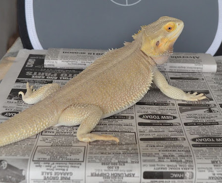 witblit bearded dragon for sale