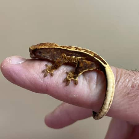 chocolate harlequin crested gecko for sale